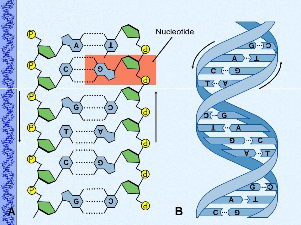 A Nucleotide P G T C B