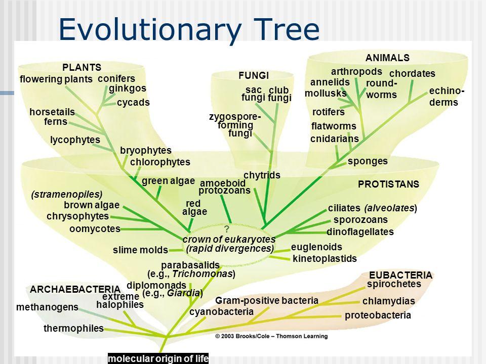 Evolutionary Tree ANIMALS PLANTS arthropods FUNGI chordates