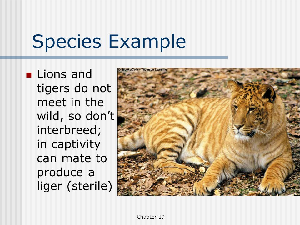 Species Example Lions and tigers do not meet in the wild, so don't interbreed; in captivity can mate to produce a liger (sterile)