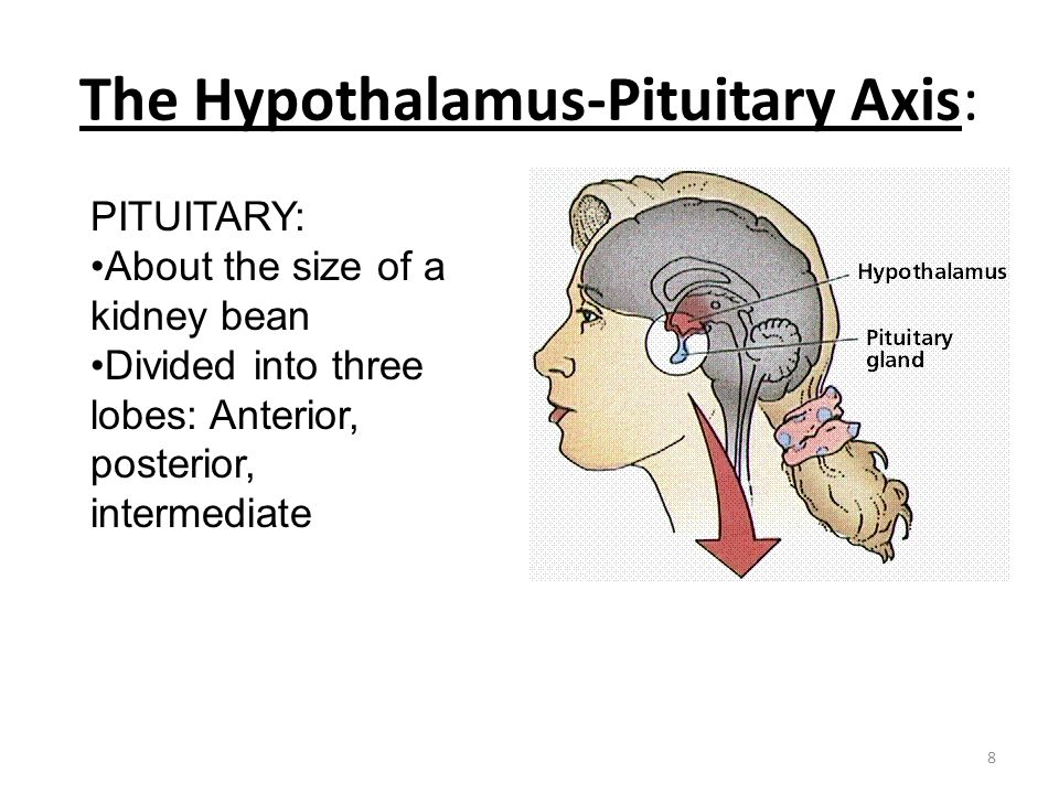 The Hypothalamus-Pituitary Axis:
