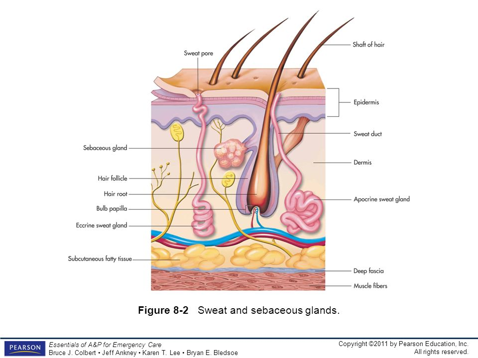 Figure 8-2 Sweat and sebaceous glands.