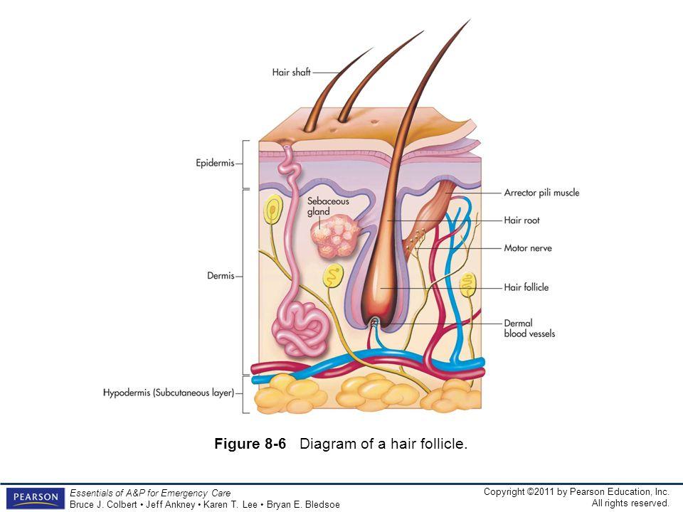 Figure 8-6 Diagram of a hair follicle.