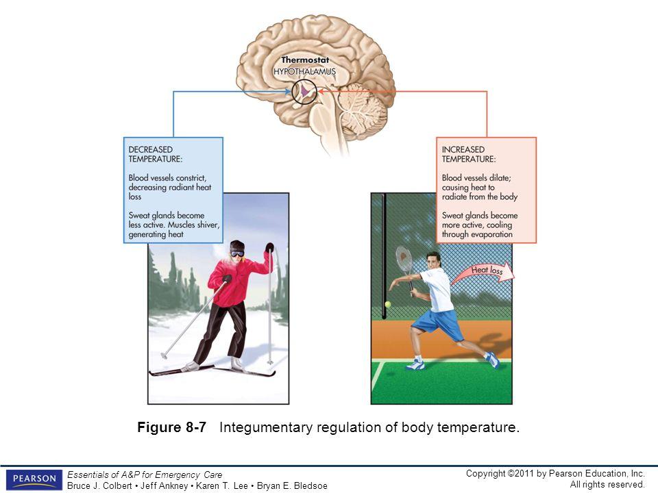 Figure 8-7 Integumentary regulation of body temperature.