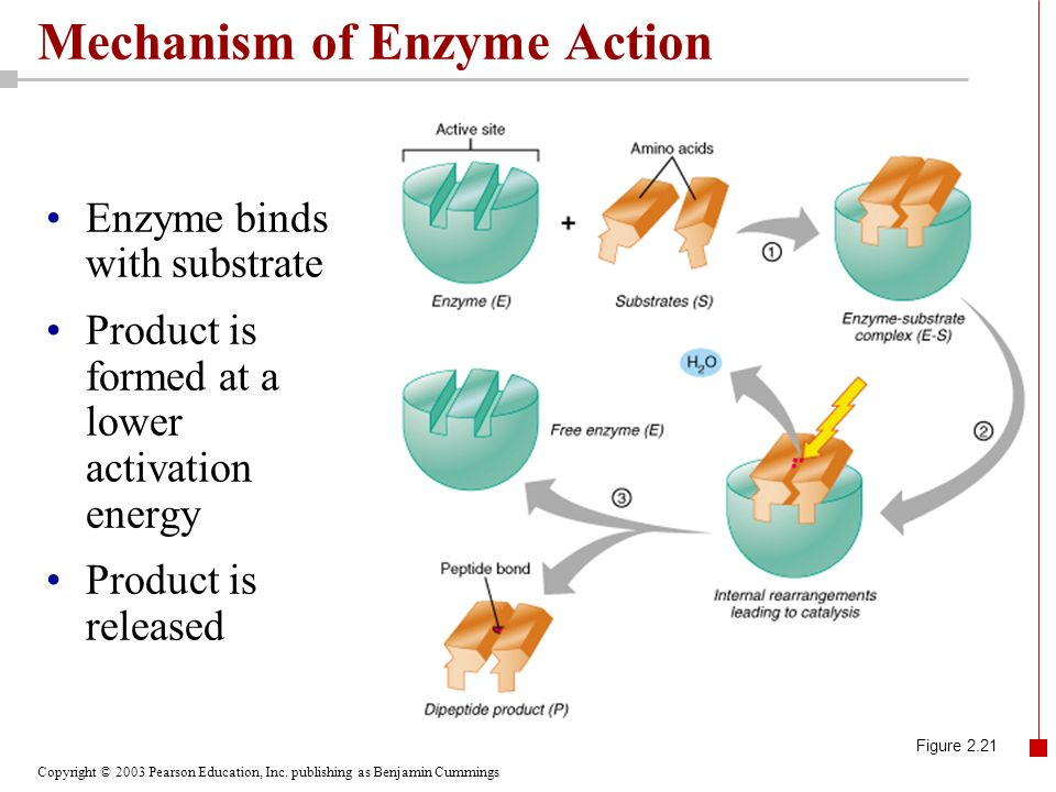 Mechanism of Enzyme Action