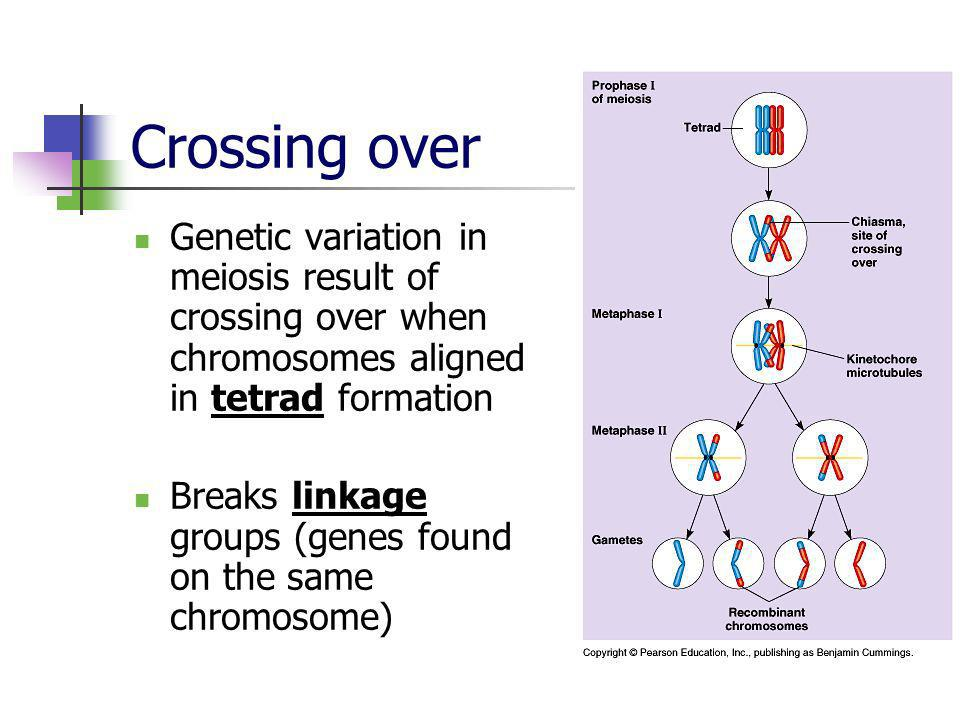 Crossing over Genetic variation in meiosis result of crossing over when chromosomes aligned in tetrad formation.