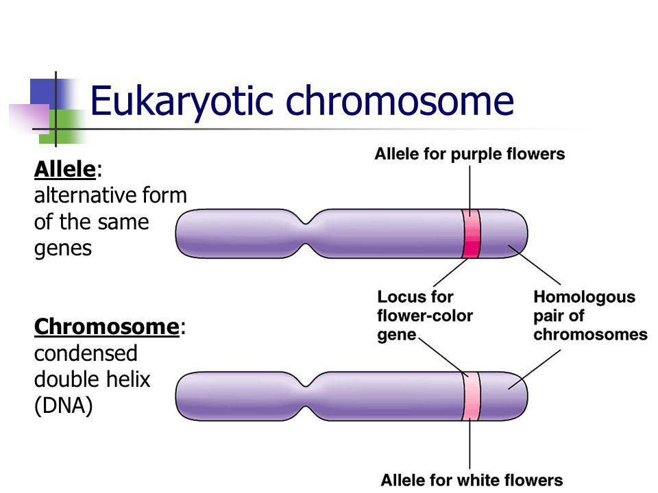 Eukaryotic chromosome