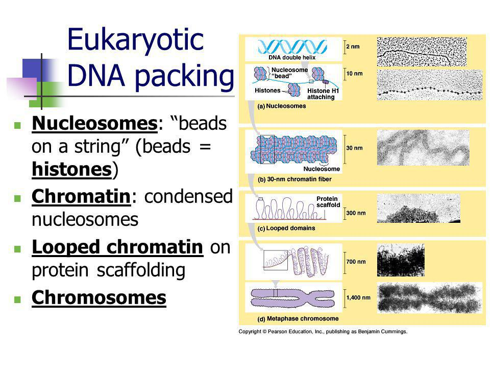 Eukaryotic DNA packing