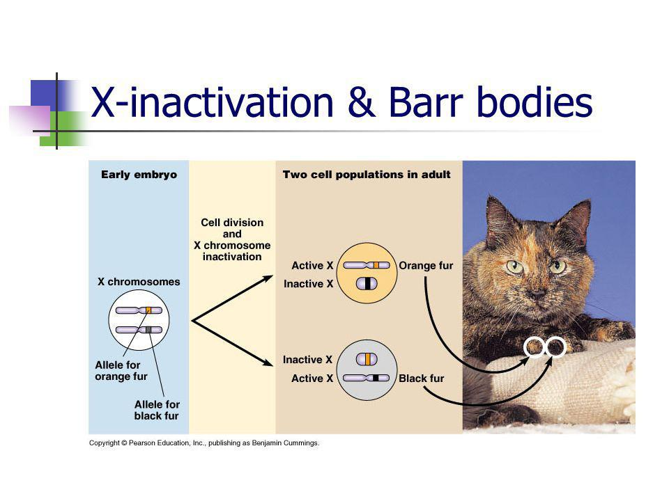 X-inactivation & Barr bodies