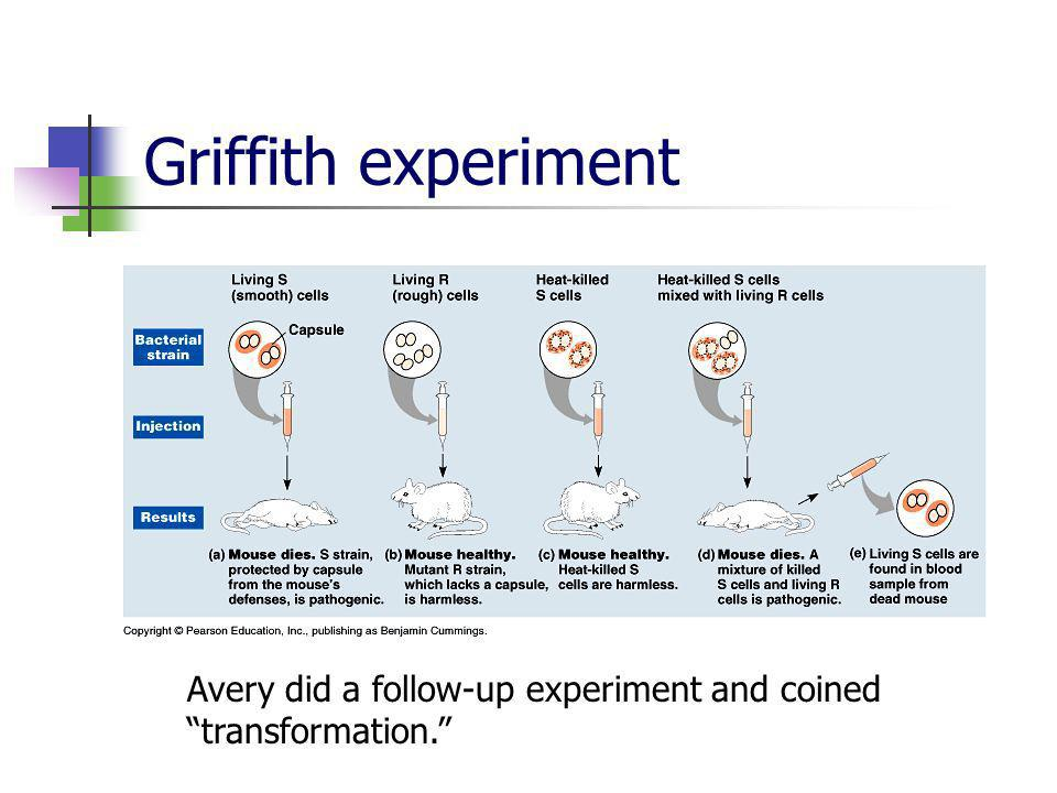 Griffith experiment Avery did a follow-up experiment and coined transformation.
