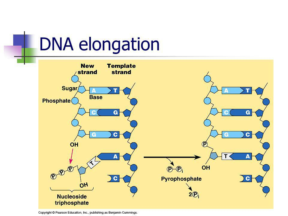 DNA elongation