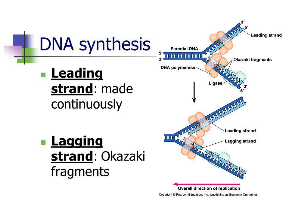 DNA synthesis Leading strand: made continuously