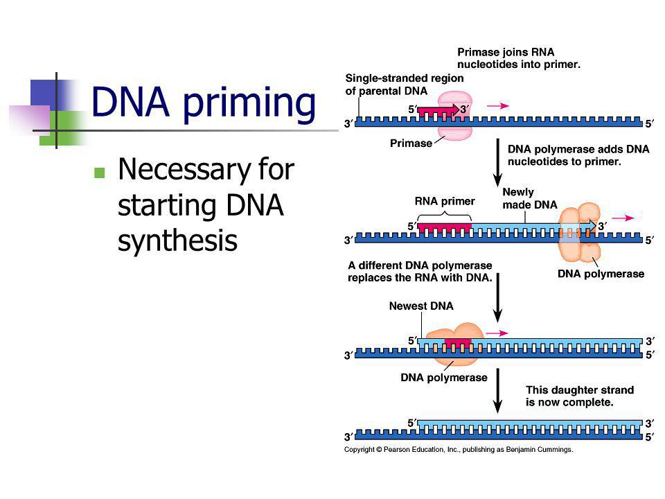 DNA priming Necessary for starting DNA synthesis
