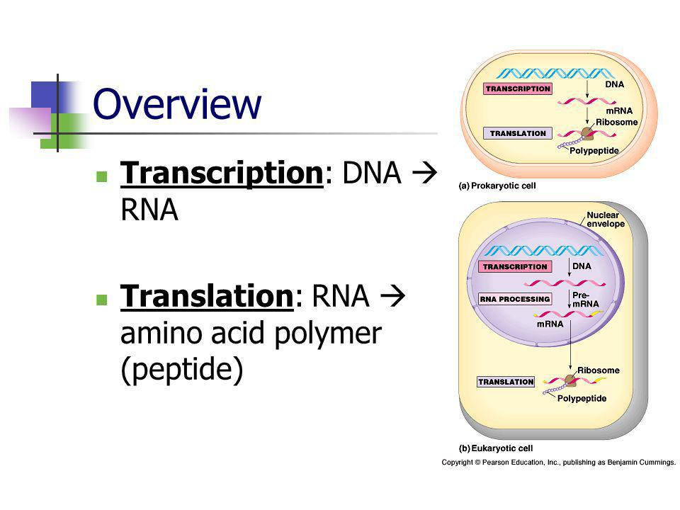 Overview Transcription: DNA  RNA