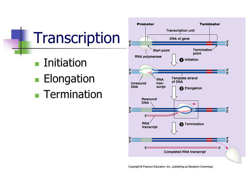 Transcription Initiation Elongation Termination