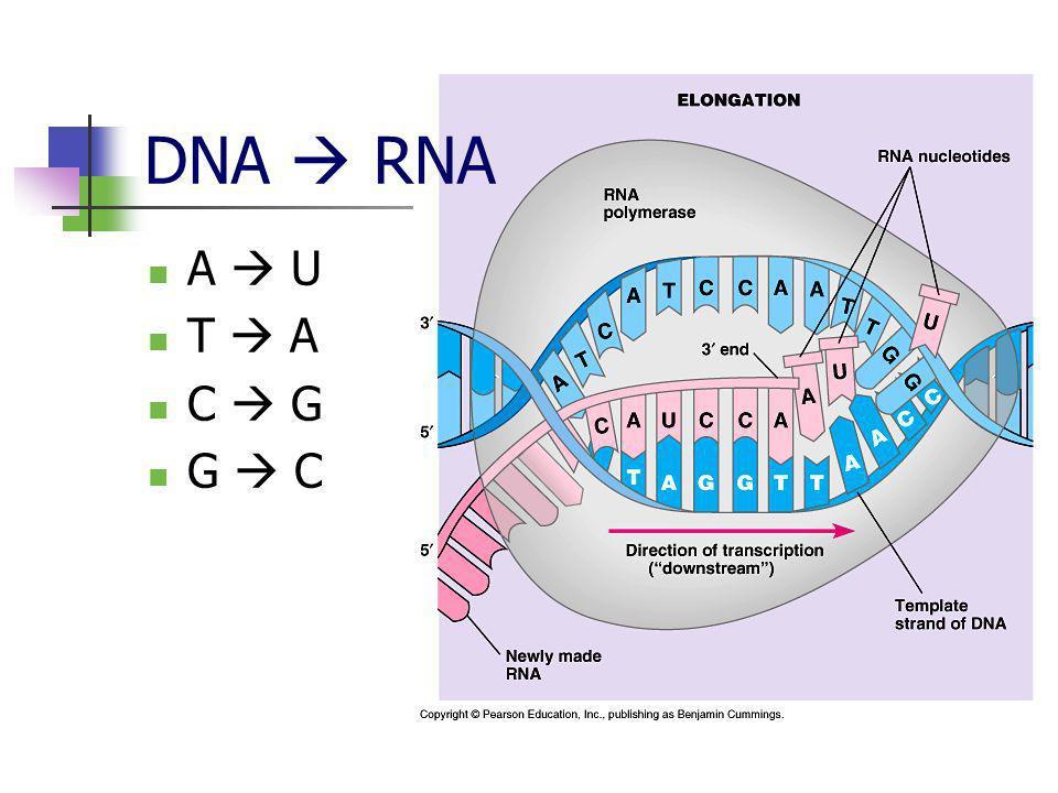 DNA  RNA A  U T  A C  G G  C
