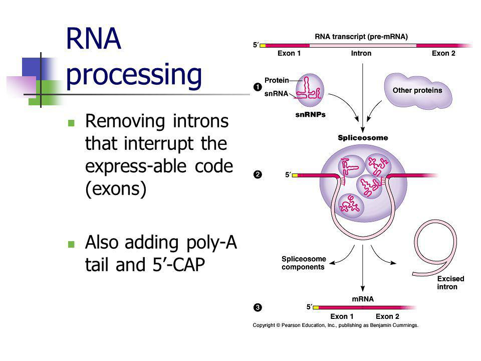 RNA processing Removing introns that interrupt the express-able code (exons) Also adding poly-A tail and 5'-CAP.