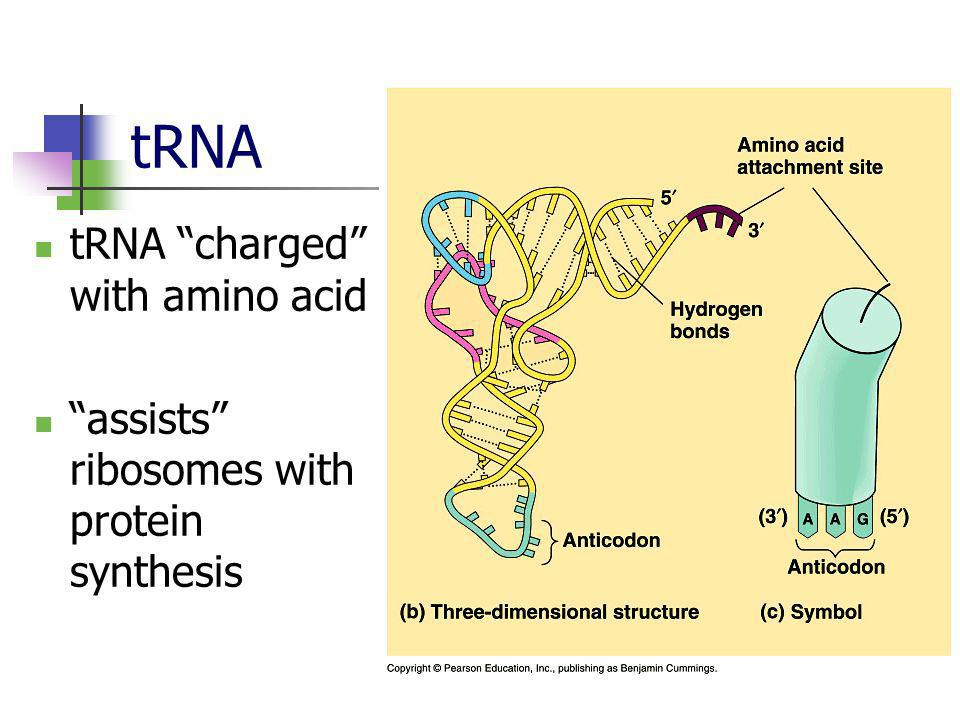 tRNA tRNA charged with amino acid
