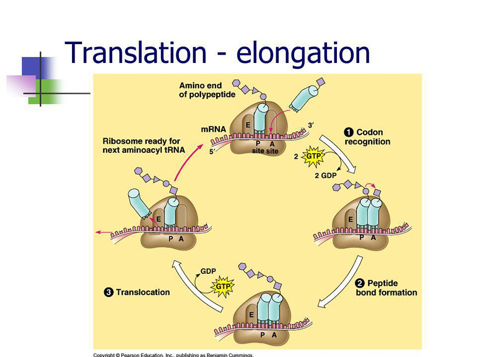 Translation - elongation
