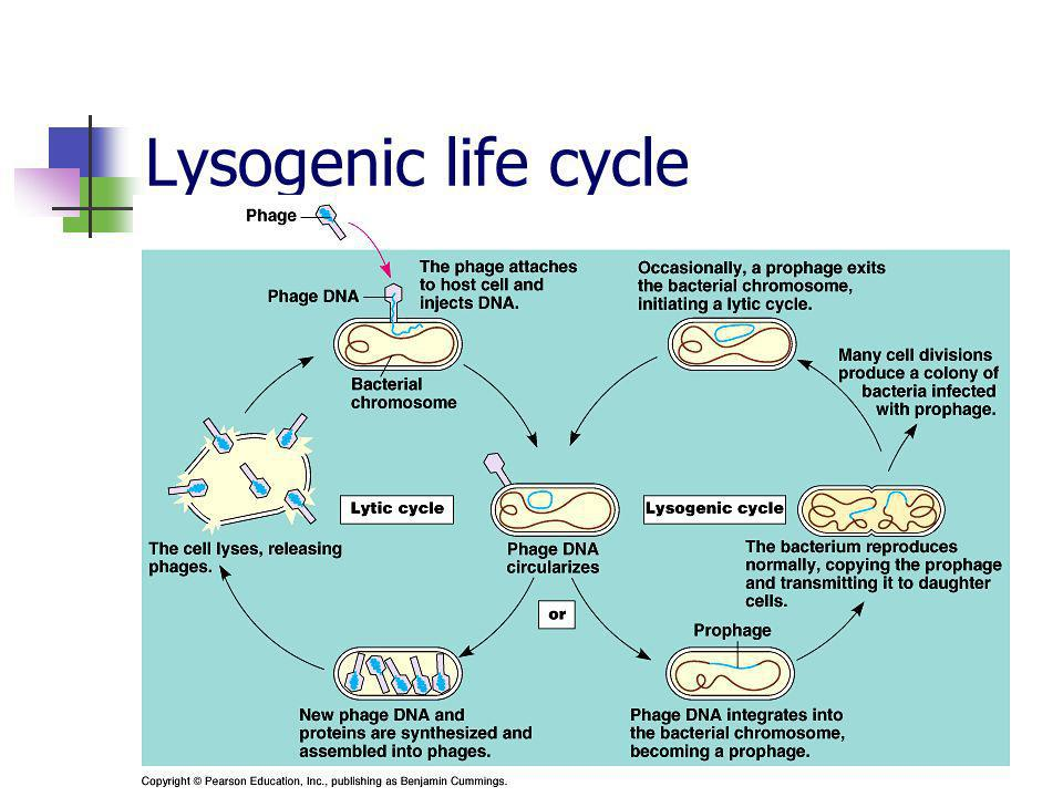 Lysogenic life cycle