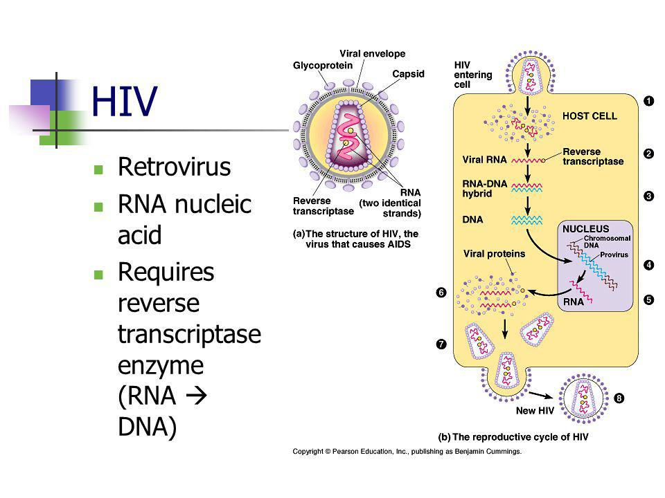 HIV Retrovirus RNA nucleic acid