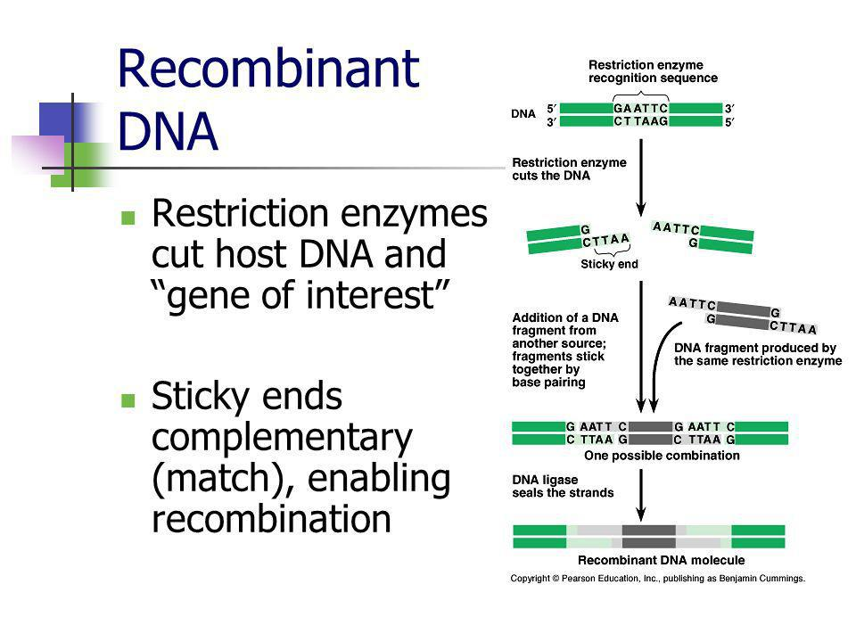 Recombinant DNA Restriction enzymes cut host DNA and gene of interest Sticky ends complementary (match), enabling recombination.