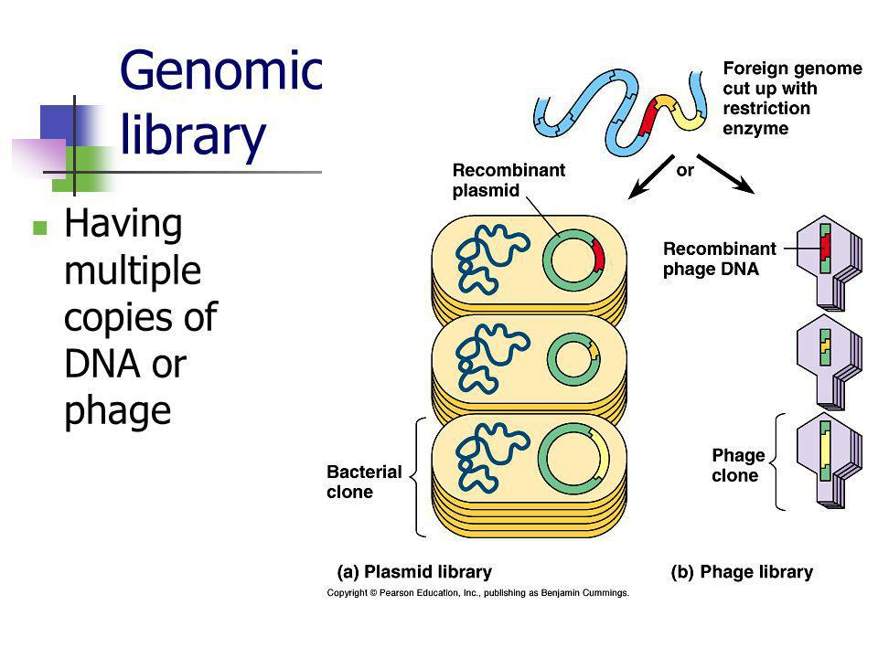 Genomic library Having multiple copies of DNA or phage
