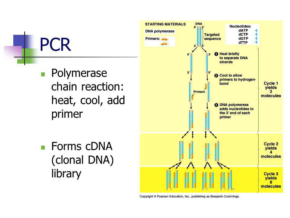PCR Polymerase chain reaction: heat, cool, add primer
