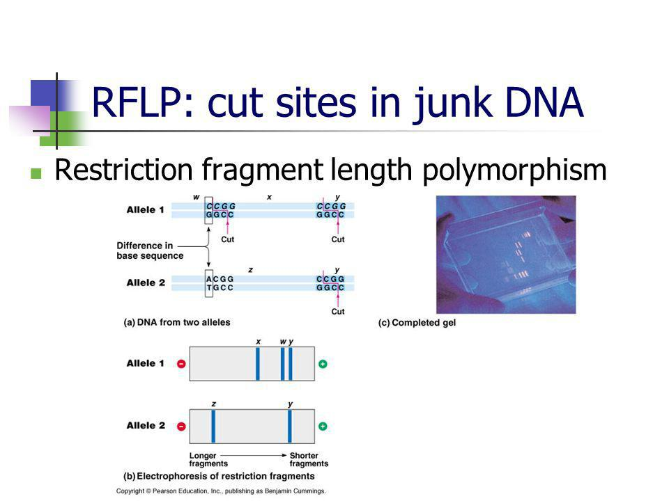 RFLP: cut sites in junk DNA