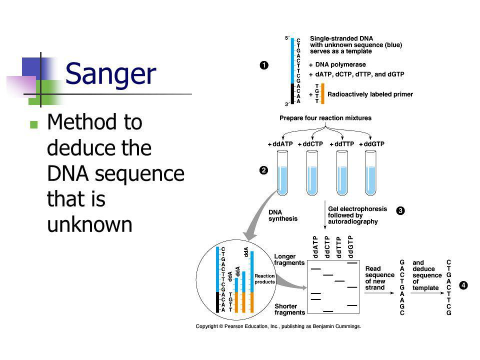 Sanger Method to deduce the DNA sequence that is unknown