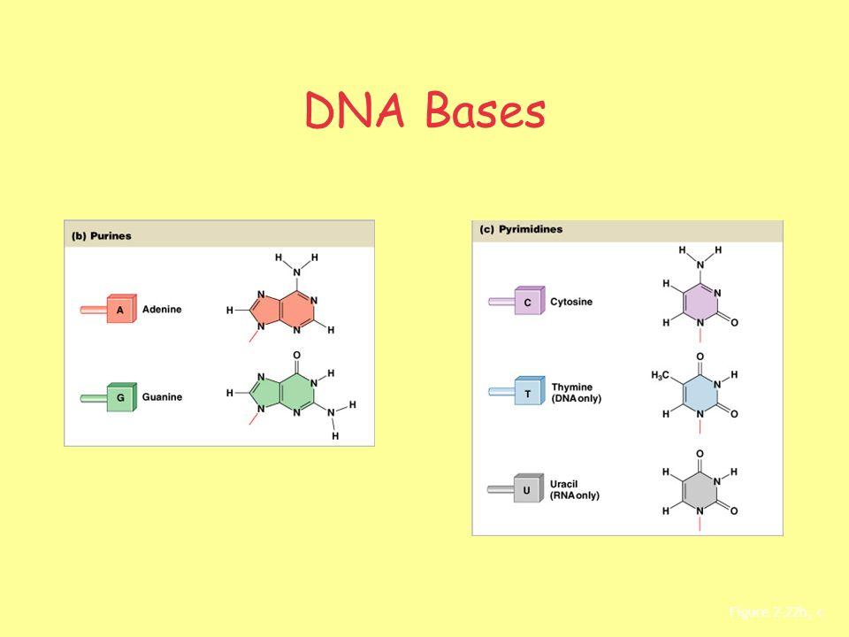 DNA Bases Figure 2–22b, c