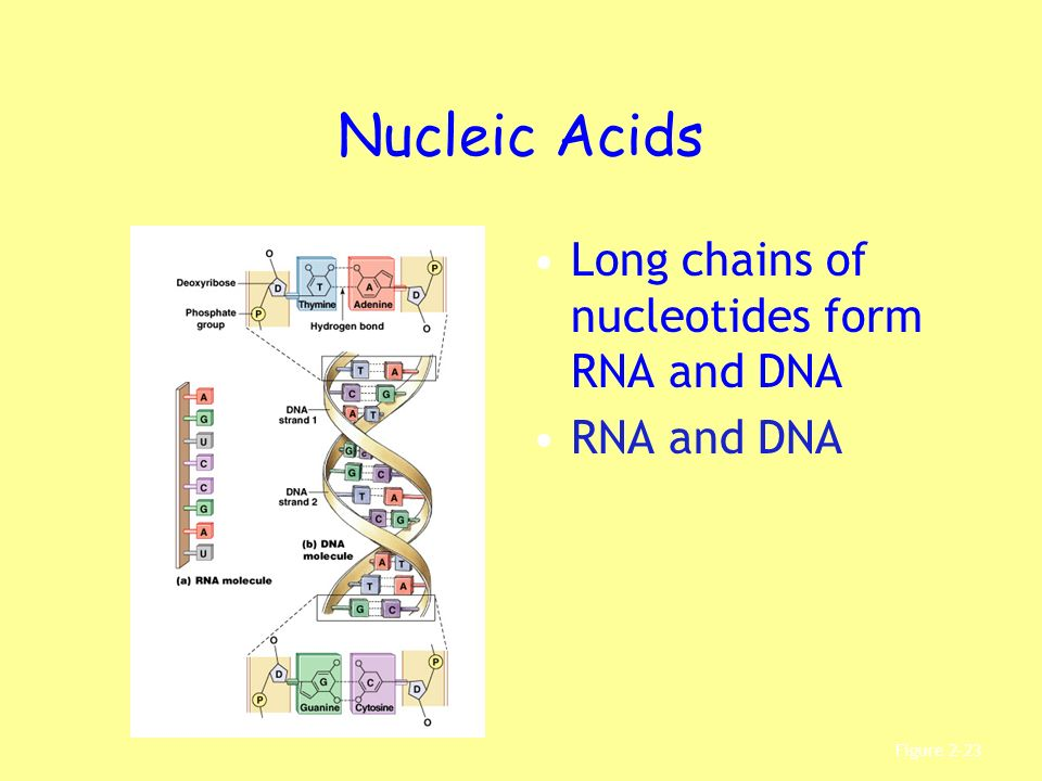 Nucleic Acids Long chains of nucleotides form RNA and DNA RNA and DNA