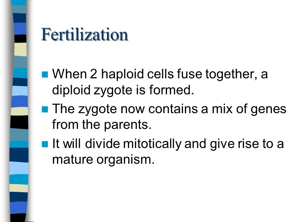 Fertilization When 2 haploid cells fuse together, a diploid zygote is formed. The zygote now contains a mix of genes from the parents.