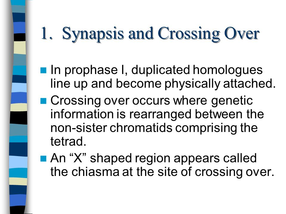 1. Synapsis and Crossing Over