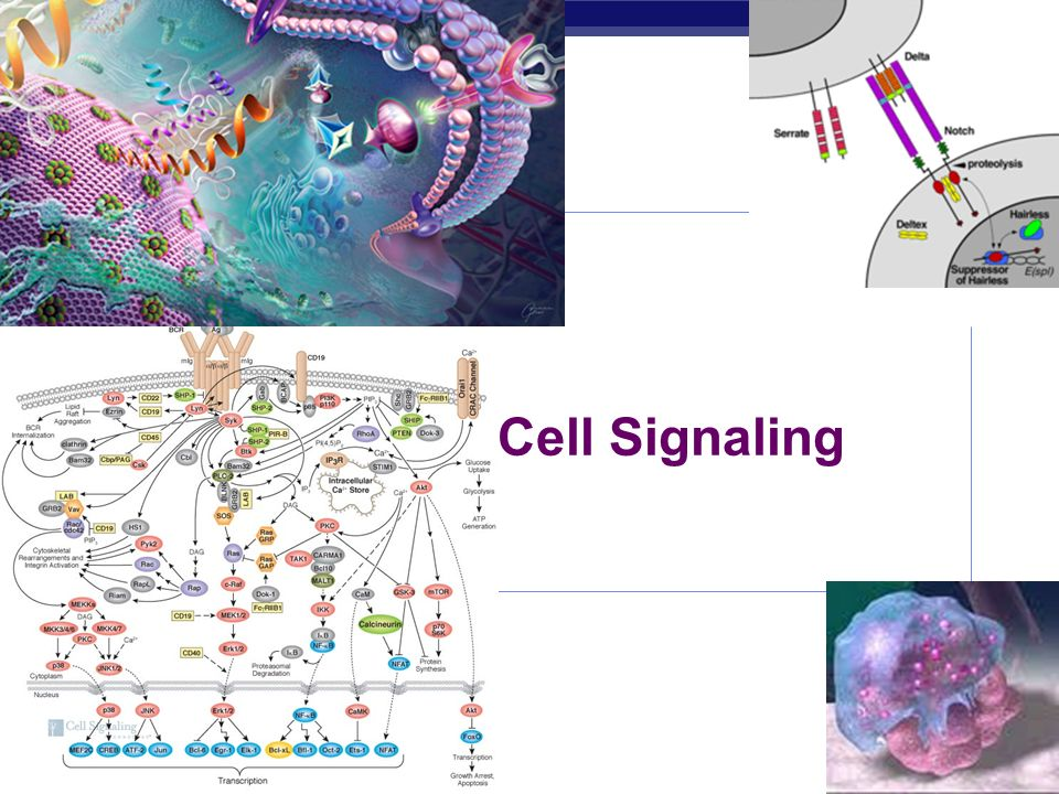 Cell Signaling 15