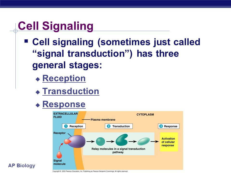 Cell Signaling Cell signaling (sometimes just called signal transduction ) has three general stages:
