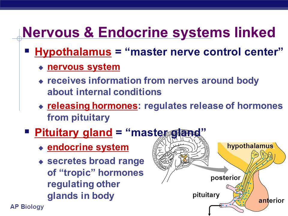 Nervous & Endocrine systems linked