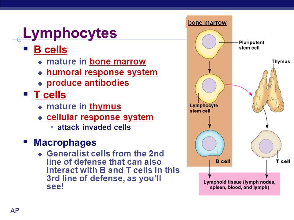 Lymphocytes B cells T cells Macrophages mature in bone marrow