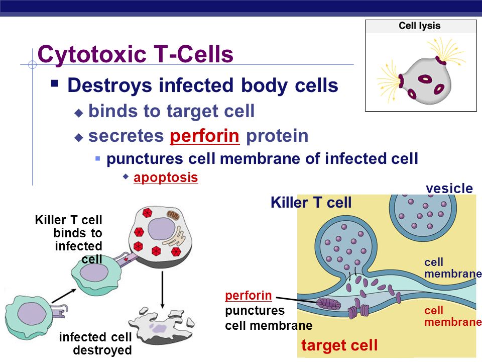 Cytotoxic T-Cells Destroys infected body cells binds to target cell