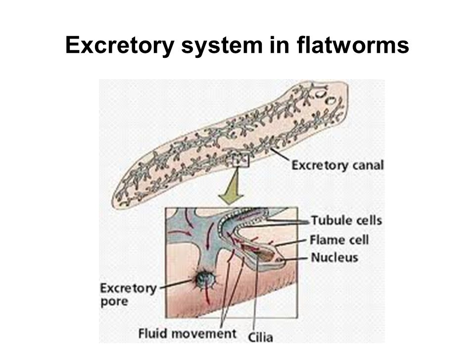 Excretory system in flatworms