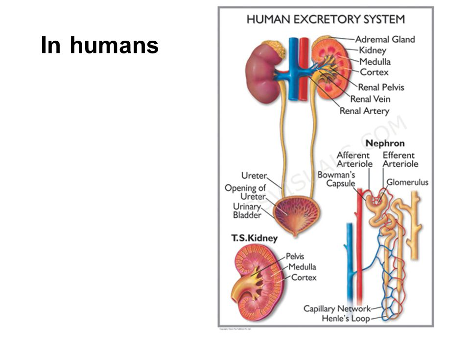 In humans