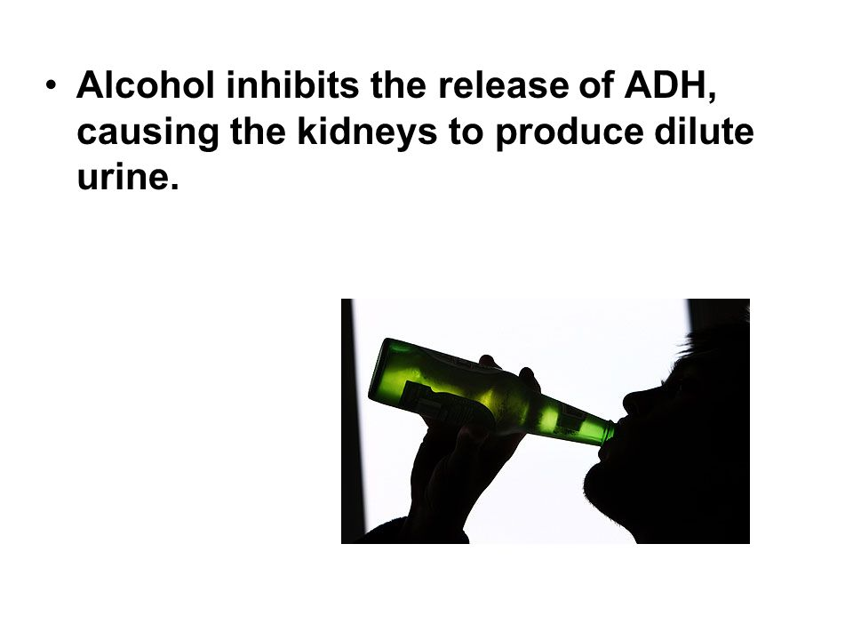 Alcohol inhibits the release of ADH, causing the kidneys to produce dilute urine.