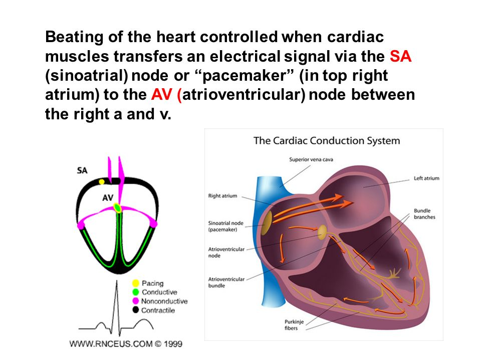 Beating of the heart controlled when cardiac muscles transfers an electrical signal via the SA (sinoatrial) node or pacemaker (in top right atrium) to the AV (atrioventricular) node between the right a and v.