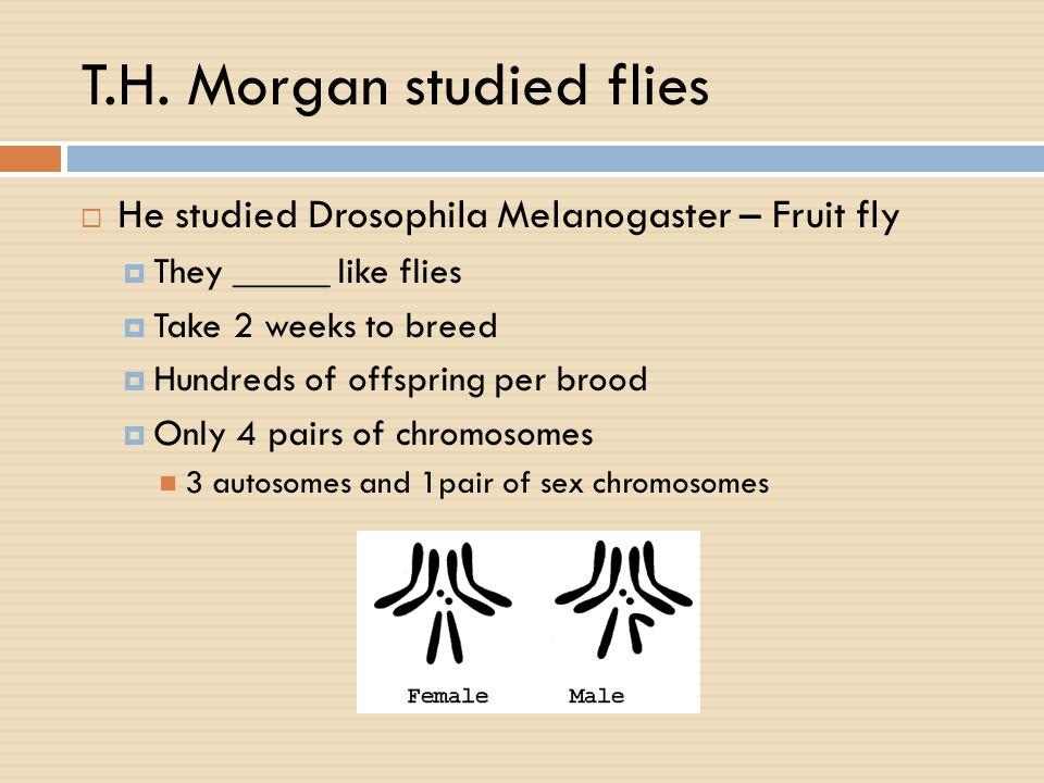 T.H. Morgan studied flies