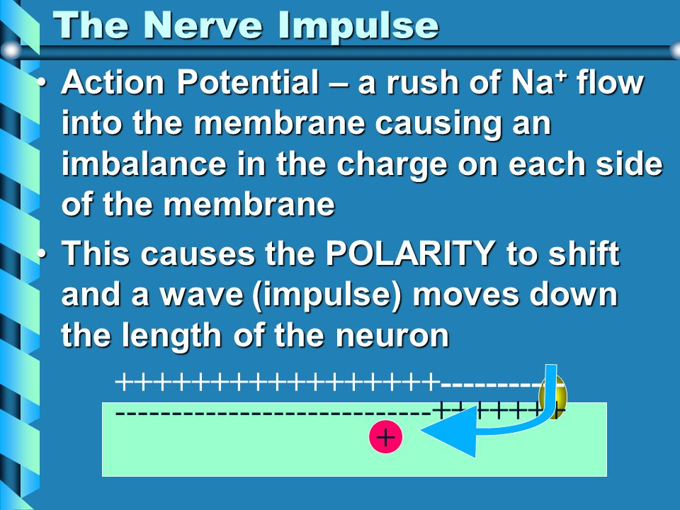 The Nerve Impulse Action Potential – a rush of Na+ flow into the membrane causing an imbalance in the charge on each side of the membrane.