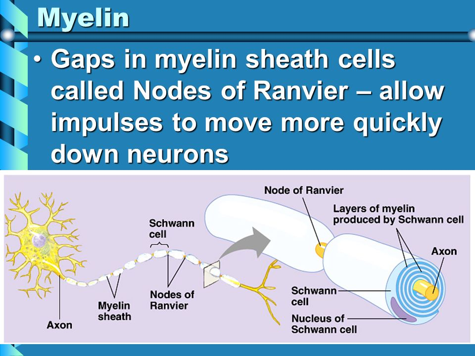Myelin Gaps in myelin sheath cells called Nodes of Ranvier – allow impulses to move more quickly down neurons.