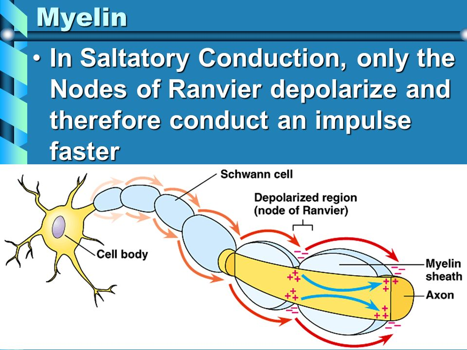 Myelin In Saltatory Conduction, only the Nodes of Ranvier depolarize and therefore conduct an impulse faster.