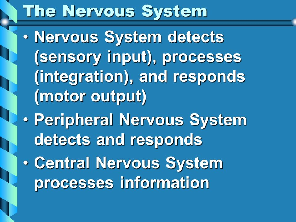 The Nervous System Nervous System detects (sensory input), processes (integration), and responds (motor output)