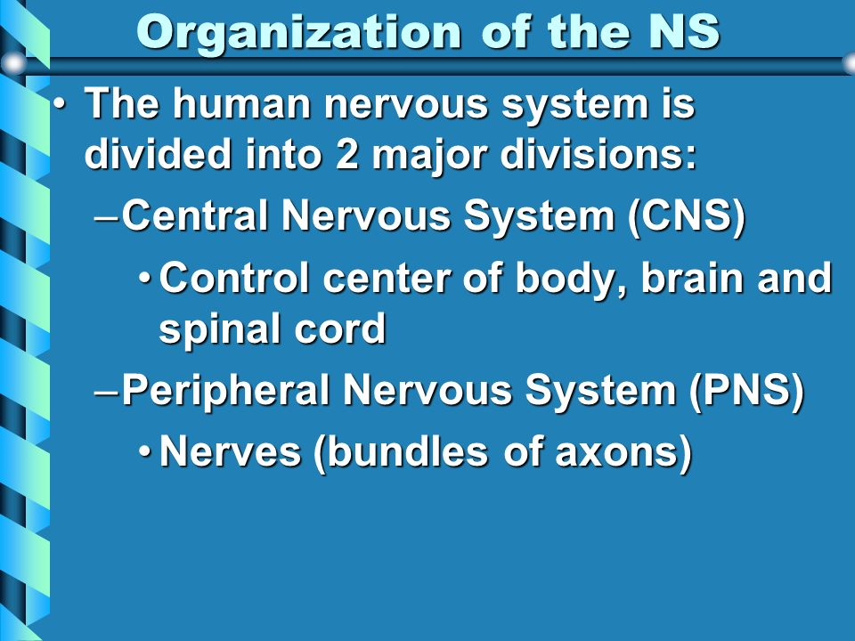 Organization of the NS The human nervous system is divided into 2 major divisions: Central Nervous System (CNS)
