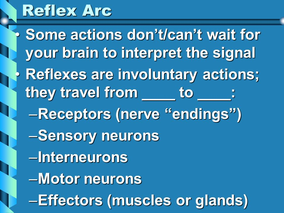 Reflex Arc Some actions don't/can't wait for your brain to interpret the signal. Reflexes are involuntary actions; they travel from ____ to ____: