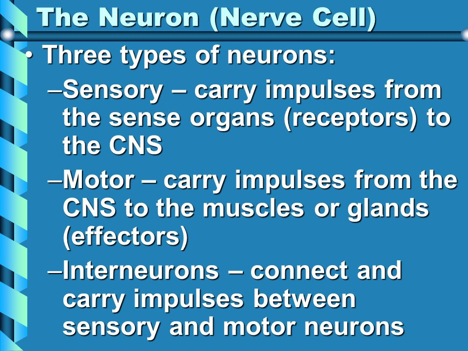 The Neuron (Nerve Cell)